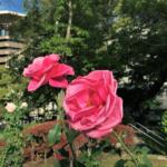 Roses in Hiroshima Peace Memorial Park Vol.2