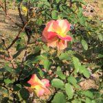 Roses in Hiroshima Peace Memorial Park Vol.3